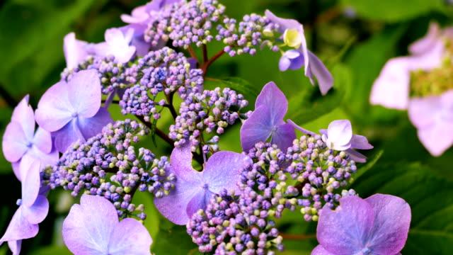 Close-up of a purple hydrangea. video