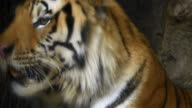 4K: Close-up of a tiger face video