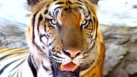 Close-up of a tiger video