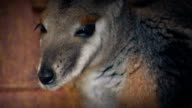 Closeup Of A Wallaby video