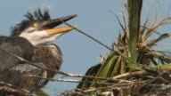 Closeup of a Wild-Eyed Heron Chick video