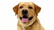 Close-up of a yellow Labrador Retriever dog with happy video