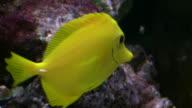 Closeup of a Yellow Tang swimming through aquarium (High Definition) video