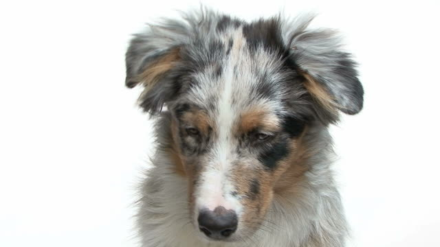 Close-up of a young australian shepherd looking down video