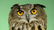 Close-up of an Eurasian eagle owl looking around, greenkey video