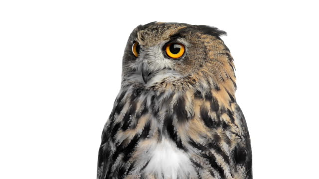 Close-up of an Eurasian eagle owl looking around video