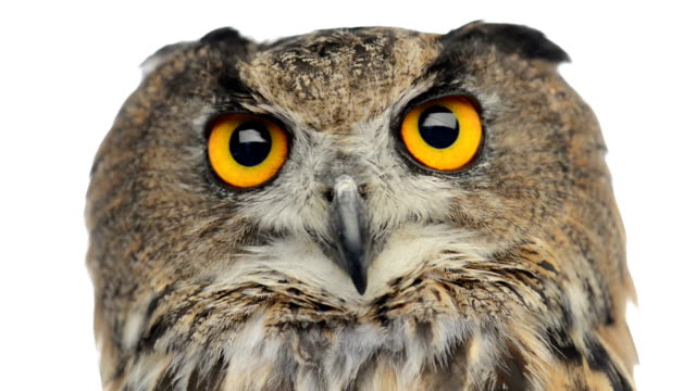Close-up of an Eurasian eagle owl looking at the camera video