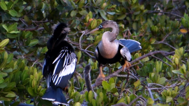 Closeup of Anhinga Family video
