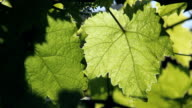 Closeup of beautiful green grapevine leaves video