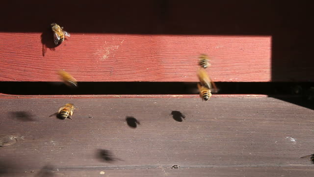 Closeup of bees going in and out of the beehive entrance video