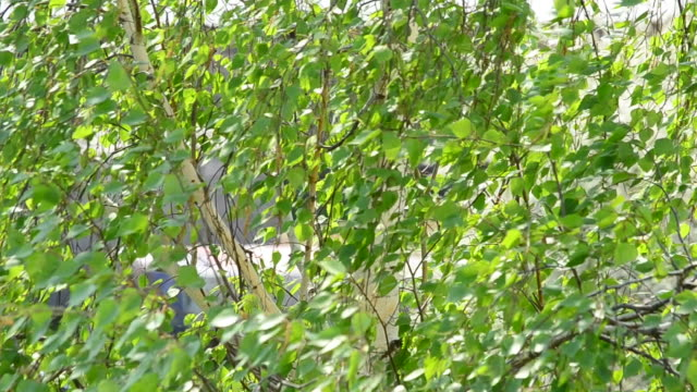 Closeup of birch tree branches blown by wind in spring or summer video