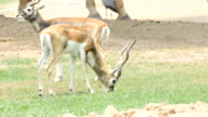 Close-Up of Blackbuck antelope Eating feeding on grass in field, 4K(UHD) video