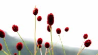 Close-up of burnet flowers video