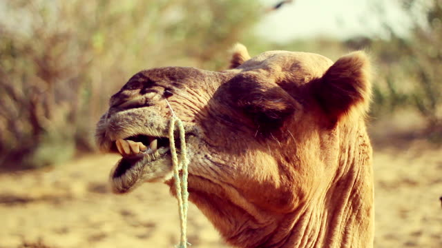Close-up of camel resting amid desert landscape with shrubs and sand dunes video