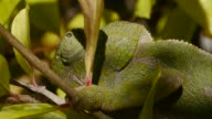 closeup of chameleon video