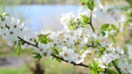 Close-up of cherry blossom on blurred background video