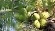 Closeup of coconut tree video