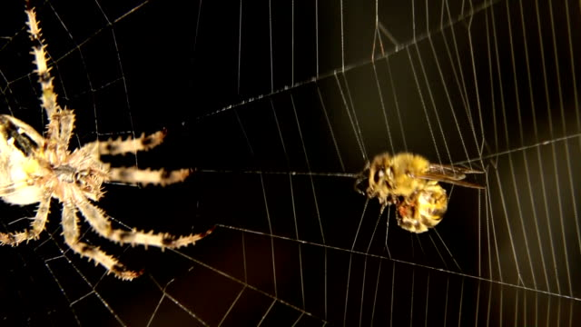 Close-up of Cross spider is hunting video