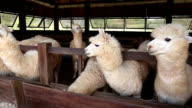 Close-up of cute adolescent alpaca chewing and feed in farm video