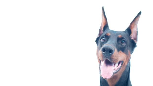Close-up of Doberman muzzle video