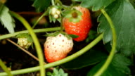 Close-up of fresh strawberries on the vine video
