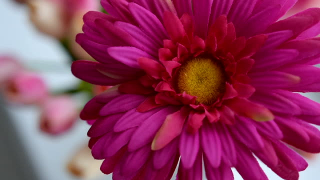 Close-up of gerbera flower on a light background video