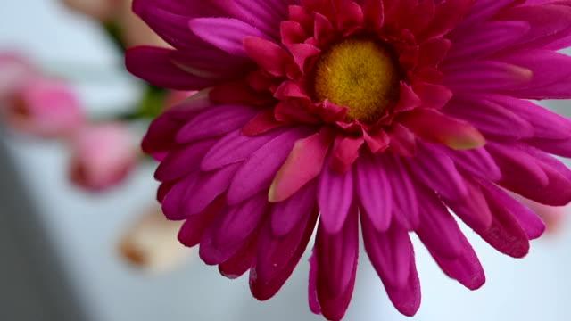 Close-up of gerbera flower on a light background video
