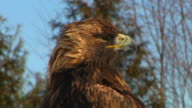 close-up of golden eagle video