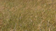 Closeup of grass blowing in wind, slow motion video
