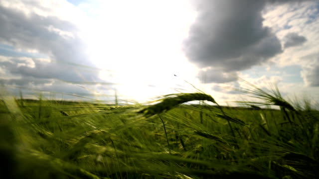 Close-up of green wheat ears in sunny day with clouds Cereal grains Good harvest video