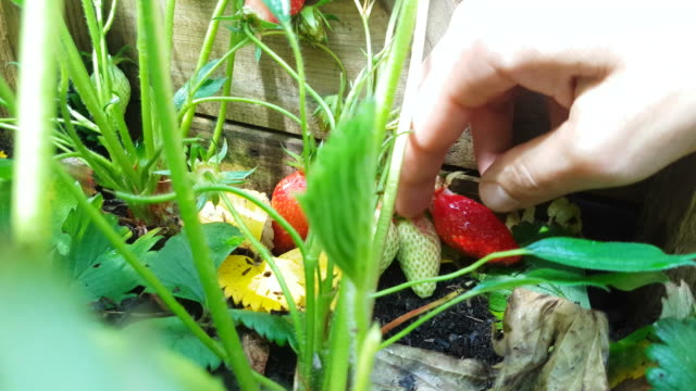 Close-up of Hand Picking Ripe Strawberry video