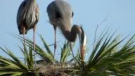 Closeup of Heron Building a Nest video