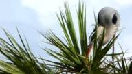 Closeup of Heron Building Nest video
