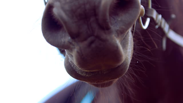 Close-up of horse chewing video