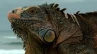 Close-up of iguana. video
