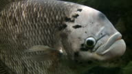 Closeup of Jumbo Gourami swimming through the aquarium (High Definition) video