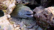 Close-up of Laced moray in a coral cave on Maldives video