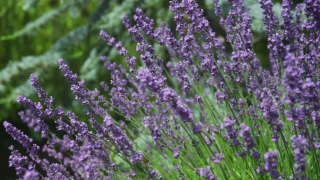 Closeup of lavender blowing in wind, dolly movement video
