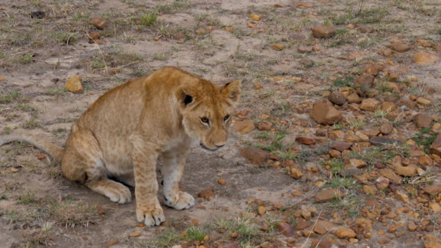 Closeup Of Lion Cub Looking At The Camera, And Then Walked Away. video
