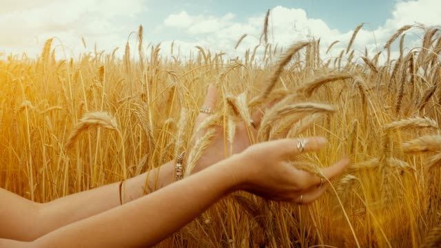 Close-up of of Woman's hand touching golden wheat field. Girl's hand touching wheat ear closeup. video