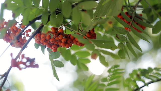 Closeup of orange Rowan berries or Mountain Ash tree with ripe berries in autumn video