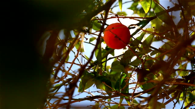 Close-up of oranges on a tree video