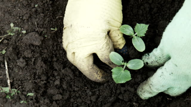 Close-up of person cultivating cucumber sprout video