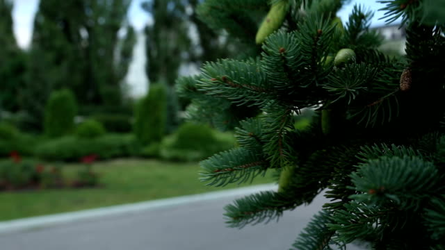 Closeup of Pine or Fir Tree Branches Moving on Wind video