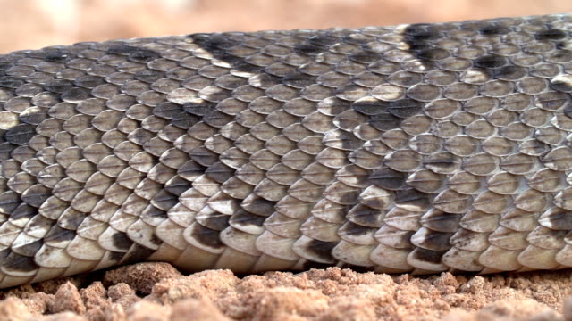 Close-up of puff adder showing rectilinear locomotion moving caterpiller like over the ground video