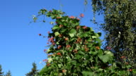 closeup of red and white bean blooms leaves move in wind on blue sky video