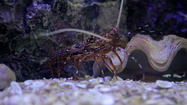 closeup of red lobster shrimp walking under water video
