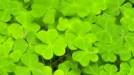 Closeup of redwood sorrel video