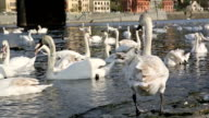 Closeup of relaxing and eating swans on river video