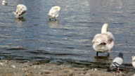 Closeup of relaxing swans on river video